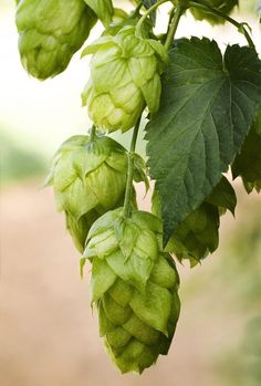 Hop Seed Heads