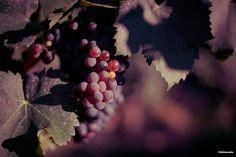Grape on its vine  Raisin rouge sur sa vigne  #wine  #grape #wine #vigne #vin ©Sebanado