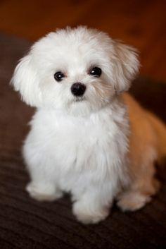 Brinke ! Puppy Dog Dogs Puppies Maltese.   Jen wants