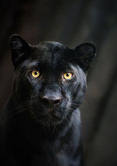 Jaguar wallpaper with a panther in The Animals Club The Animals, Black Animals, Black Cats, Puma Animal Black, Black Kitty, Wild Animals, Black Panthers, Pumas Animal, Jaguar Noir