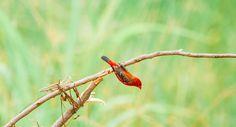 Estrildid finch by Mini pun on 500px