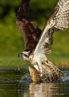 ~~Flying Fish ~ Scottish Osprey plucking a rainbow trout from the water by Richard Steel~~ of Prey Trout Fishing, Fly Fishing, Alaska Fishing, Fishing Tips, Beautiful Birds, Animals Beautiful, Beautiful Pictures, Rapace Diurne, Rainbow Trout