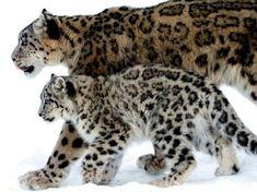 Leopards More