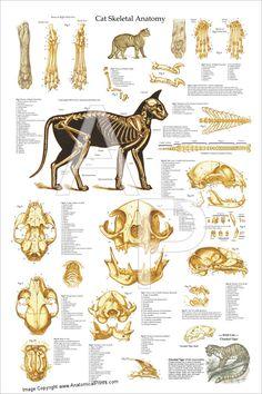 chicken anatomy  skeletal  anatomy  pinterest  chicken