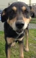 Meet Pepper, a Petfinder adoptable Rottweiler Dog | Gold Beach, OR | Pepper, 11, is a Rottie mix. He is bonded with Snickers, his life-long companion. Pepper is a...