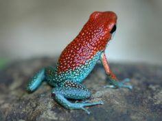 Granular Poison Frog - Oophaga Granulifera