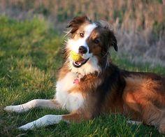 Welsh Sheepdog / Ci Defaid Cymreig / Welsh Collie Dog