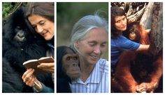 <p>Leakey helped to facilitate Jane Goodall's long-term field study of chimpanzees in the wild,Dian Fossey's work with mountain gorillas in Rwanda, and Birute Galdikas-Brindamour's work with orangutans in the Sarawak region of Indonesia.</p>