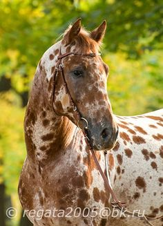 Knabstrupper - The Knabstrup (or Knabstrupper). A European warmblood thought to be descended from a prehistoric Spanish spotted horse. Very similar in colouring to the North American Appaloosa.