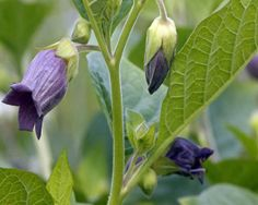 Belladonna | 30 Medicinal Plants That Could Save Your Life #survivallife www.survivallife.com