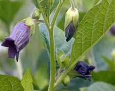 Belladonna | 30 Medicinal Plants That Could Save Your Life #survivallife www.survivallife.com