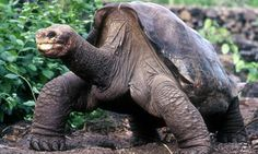 RIP Lonesome George, the last giant tortoise living from La Pinta, Galapagos. Tortoise As Pets, Giant Tortoise, Sulcata Tortoise, Tortoise Care, George Dies, The Last Giant, Russian Tortoise, Rare Animals, Extinct Animals