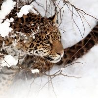 Leopard Covered In Snow Wallpapers | Animals And Birds Wallpapers