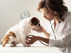 Las consecuencias de los gusanos en los perros varían mucho. En perros adultos, una infección de lombriz puede ser asintomática; mientras que, por contraste, una invasión en un cachorro puede ser fatal. Este artículo analizará por qué los cachorros son