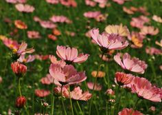 #cosmos #autumn #flowers #コスモス #秋桜
