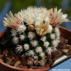 Mammillaria vetula ssp gracilis cv Arizona Snow Cap ( Snowcap) cactus Cactus Decor, Cactus Art, Cacti And Succulents, Cactus Plants, Cactus Y Suculentas, Growing Plants, House Plants, Flower Power, Arizona