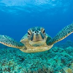 Sea Turtle / Oak Island North Carolina   #seaturtle #oakisland
