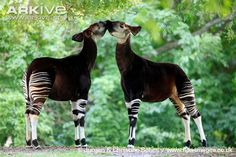 """The Okapi represents my uniqueness   the Okapi is one out of the two animals that are in the giraffe family and they have a zebra like pattern on their legs and they tend to make a """"MOO"""" sound sort of like a cow, but they also make a noise such as """"bleat"""" and """"chuff"""". The okapi seems like a mixture of animals which makes it unique, Just like me."""