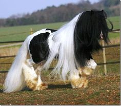 Gypsy Vanner Horse - Gorgeous! // Oh my gosh...that's a lotta mane...