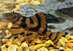 Tropical Freshwater Fish - Find incredible deals on Tropical Freshwater Fish and Tropical Freshwater Fish accessories. Let us show you how to save money on Tropical Freshwater Fish NOW! Saltwater Aquarium Fish, Tropical Fish Aquarium, Tropical Fish Tanks, Tropical Freshwater Fish, Freshwater Aquarium Fish, Pleco Fish, Plecostomus, Salt Water Fish, Beautiful Fish