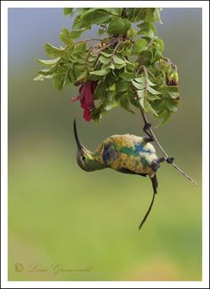 The Malachite Sunbird (Nectarinia famosa) is a small nectivorous bird found in the highlands of Ethiopia and all the way down to South Africa.