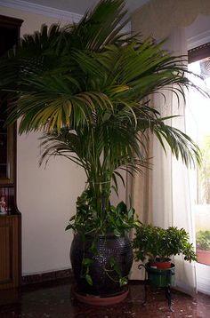 Plantas de interior: cuidado y cultivo de palmeras