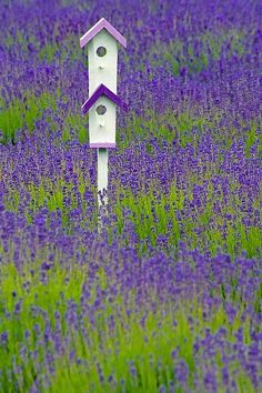 duplex bird house in field of lavender (or bluebonnets?)