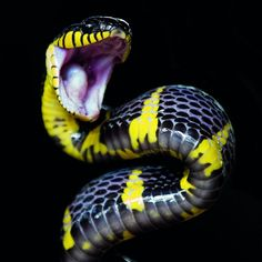 yellow and black angry snake Les Reptiles, Cute Reptiles, Reptiles And Amphibians, Pretty Snakes, Beautiful Snakes, Beautiful Creatures, Animals Beautiful, Beaux Serpents, Serpent Animal