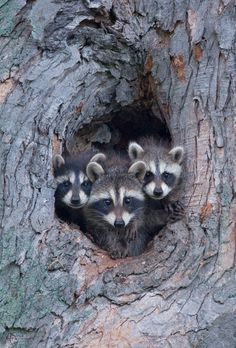 Cute little trio of raccoons in the Smoky Mountains.