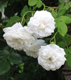 Rosa alba 'Armide' - pure white flowers in quantity over 4-6 weeks on five foot rounded shrub; disease free; very nice rose; Z3 with protection.
