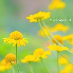 #カモミール#カミツレ#kamille#flower