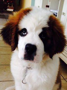 Louie the Saint Bernard puppy growing like a weed