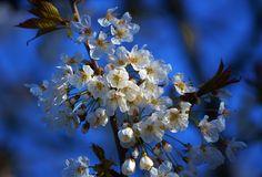 вишни в цвету, флора, цветы