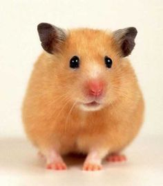 All about hamster - types-of-hamsters http://health-individual.com/about-hamsters
