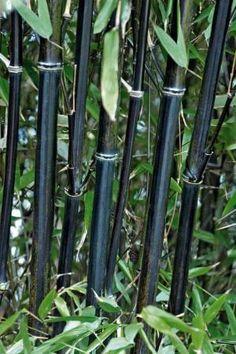 Photo Bambou noir