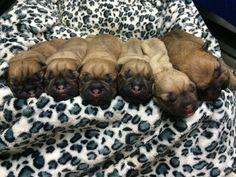 Estos hermosos peluditos nacieron por #cesárea. Familia EVI.