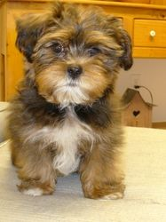 Shorkies Are #1 Puppies In The USA. Shorkie Information Available From Expert Shorkie Breeders