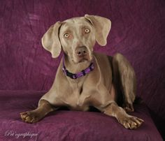 Abby is an adoptable Weimaraner Dog in Las Vegas, NV. You can view these dogs on our website www.vegasweimrescueclub.org...