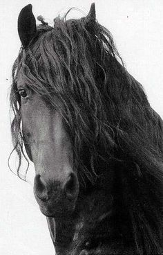 Someday I will own a Friesian... someday. <3