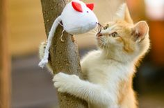 So adorable!  WHAT ARE YOU DOING ON THE TREE?  Kitty engrossed with cat toy.