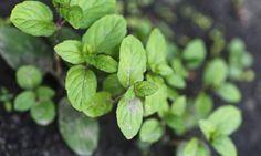 Reproducir la hierbabuena es muy sencillo, ya que allí donde la plantas no te puedes deshacer de ella.