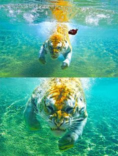 Angry Tiger under water swimming