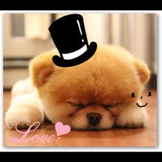 Boo: The World's Cutest Dog! Such a cute Pomeranian. Adorable!