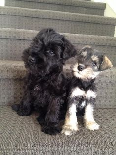 Ranked as one of the most popular dog breeds in the world, the Miniature Schnauzer is a cute little square faced furry coat. Miniature Schnauzer Puppies, Schnauzer Puppy, Schnauzers, Miniature Dogs, Fox Terriers, Cute Puppies, Cute Dogs, Puppies Puppies, Sweet Dogs