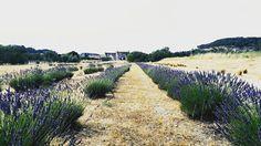 ..au loin le Pont Flavien .. Lavande . Provence . June . ICphotos