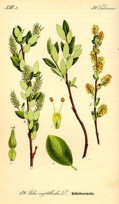 Salix breviserrata / Otto Wilhelm Thomé, Flora von Deutschland Österreich und der Schweiz (1885)