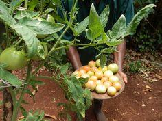 Freshly picked tomatoes form the vege garden of #hotelmockingbirdhill