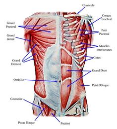 Medical Transcription: Abdomen and Muscles of abdomen Human Body Anatomy, Human Anatomy And Physiology, Muscle Anatomy, Psoas Iliaque, Medical Transcriptionist, Psoas Release, Tight Hip Flexors, Physical Therapy, Anatomy Tutorial