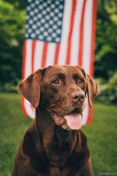 American dog animals country flag america dog- I love Labs!!!