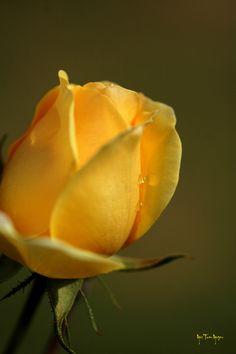 Bud, Beautiful Flowers, Roses, Gardens, Yellow, Plants, Pink Blossom, Flowers, Pretty Flowers